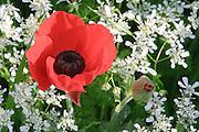 Anemone, Frühlingsblumen, Hermon Nature Reserve, Hermongebirge, Galiläa, Israel.|.anemone, spring flowers, Hermon Nature Reserve, Hermon Mountains, Galilee,  Israel.