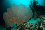 Gorgonian Fan Coral (Annella Mollis) [size of organism: 2 m] | Fächerförmige Gorgonie (Annella Mollis)