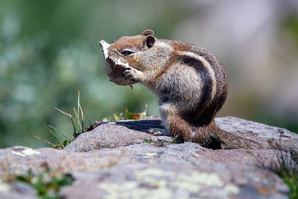 Golden Mantled Ground Squirrel, Brainard Lake National Recreation Area, Colorado