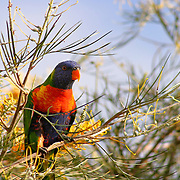 Lorikeet in grevillia tree, Brisbane, Australia (April 2003)