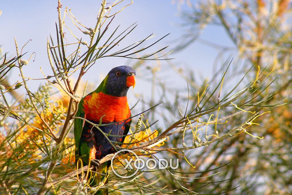 Lorikeet in grevillia tree, Brisbane, Australia (April 2003)