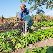 CAPTION: Cathrine waters plants using a bucket. When the Bindagombe Irrigation Scheme is handed over to its beneficiaries, farmers will no longer have to carry water from rivers in order to water their crops. LOCATION: Mawoneke Village, Chivi District, Masvingo Province, Zimbabwe. INDIVIDUAL(S) PHOTOGRAPHED: Cathrine Mutero.