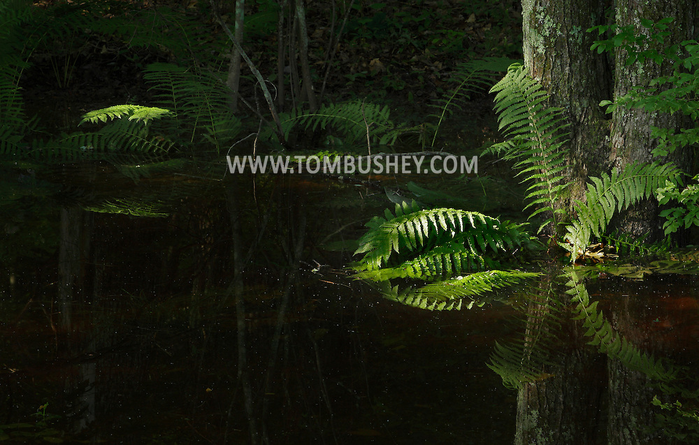 Mamakating, New York - Early-morning sunlight shines on ferns in the Bashakill Wildlife Management Area on June 27, 2011.