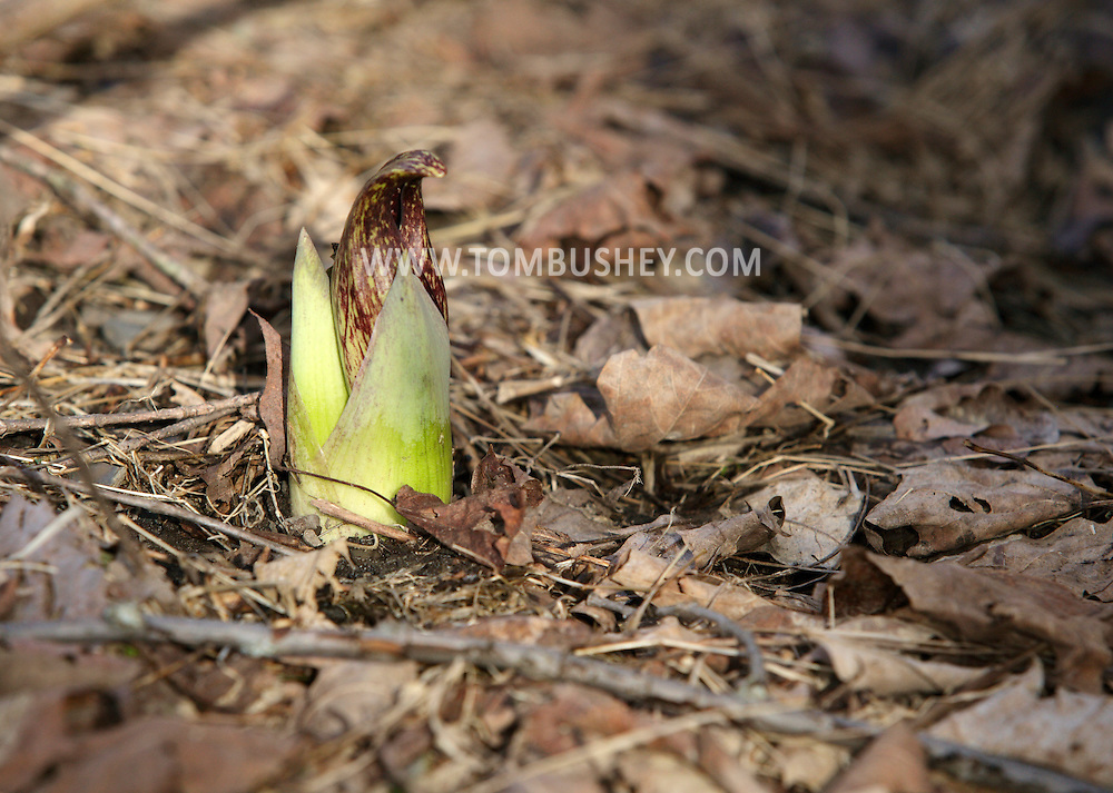 Chester, New York - A skunk cabbage plant grows among dead leaves on the forest floor on the first day of spring in Goosepond Mountain State Park on March 20, 2010.