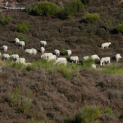 Schapen, Sheep