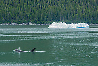 Killer Whale in Tracy Arm - Fords Terror Wilderness in Southeast Alaska.