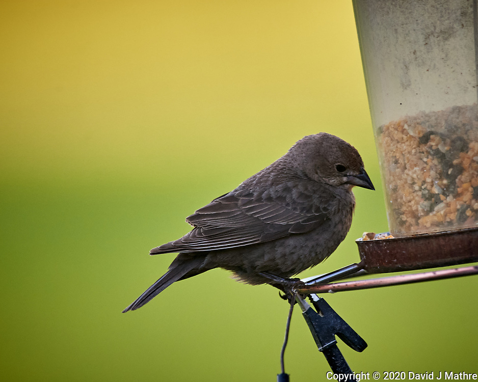 Female Brown-headed Cowbird. Image taken with a Nikon D5 camera and 600 mm f/4 VR lens (ISO 1600, 600 mm, f/5.6, 1/1500 sec).