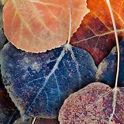 Colorful fall leaves on the ground near Lake Sabrina, California.