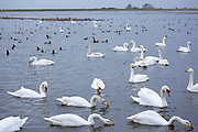 Group of Whooper Swans, Cygnus cygnus, and Mute Swans, Cygnus olor, lake scene some feeding at Welney Wetland Centre, Norfolk, UK