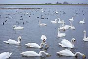 Group of Whooper Swans, Cygnus cygnus, and Mute Swans, Cygnus olor, lake scene some feeding at Welney Wetland Centre, Norfolk, UK