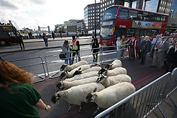 © Licensed to London News Pictures. 27/09/2015. London, UK. A flock of sheep is driven across London Bridge in preparation for Freemen of the City of London to exercise their right to take part in the ancient tradition. Photo credit: Peter Macdiarmid/LNP
