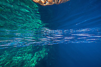 Schooling Needlefish reflect off of the surface<br /> <br /> Shot in Indonesia
