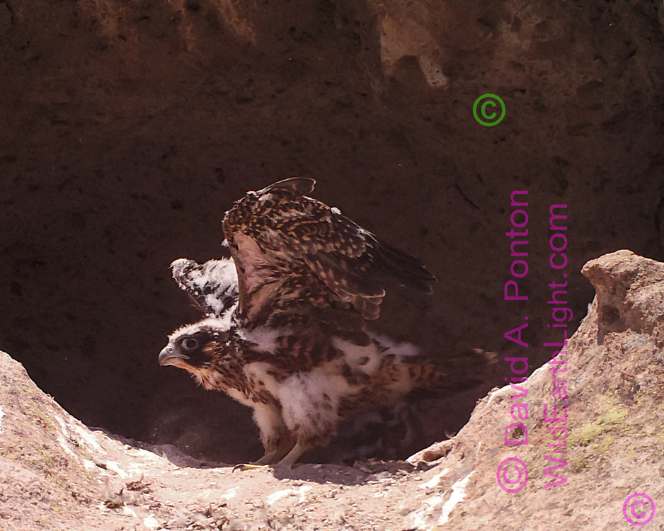 Juvemile female peregrine falcon exercising wings in eyrie cave, © 2016 David A. Ponton [photo by motion-activated camera, low-resolution limits repro. size]