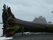 """Washington - <br /> <br /> Driftwood washed up on the beach<br /> <br /> This """"piece"""" of driftwood washed up on the beach at La Push, a small community in Clallam County, Washington. On our visit there in early spring, a very strong gale was blowing. Powerful winds accompanied by high tides are required to bring monsters like this ashore. The entire length of the beach was strewn with driftwood of all sizes. La Push, surrounded by the lush forest of the Olympic National Park, is located on the northwest coast of Washington's most westerly peninsula, at the mouth of the Quillayute River. La Push is the home of the Quileute Tribe.<br /> (©Phillip Lachman/Exclusivepix)"""