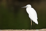 A little egret stands alone on a rock, Ranganathittu Bird Sanctuary, India