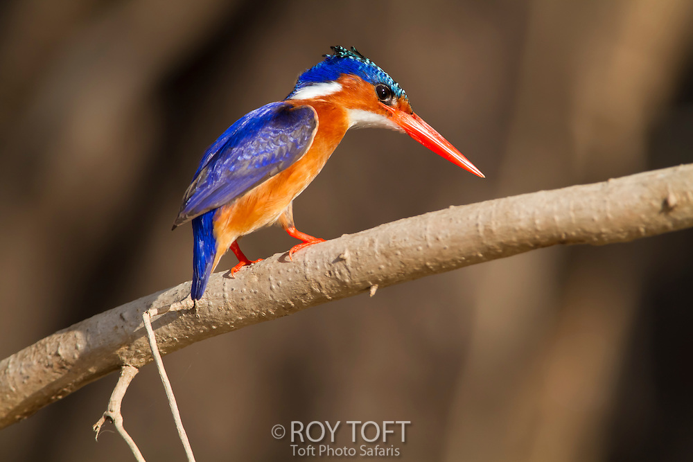 Malachite Kingfisher perching on a tree branch, Zambia, Africa