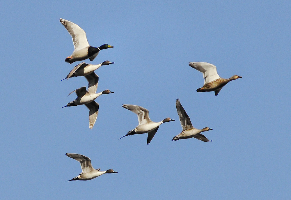 A flock of Pintail fly with a pair of Mallards.