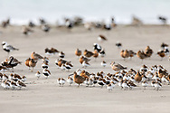 Short-billed Dowitchers, Western Sandpipers, Dunlins, Ruddy Turnstones, Red Knots, and Black-bellied Plovers rest on Egg Island during the spring migration through Prince William Sound in Southcentral Alaska. Afternoon.