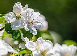 THEMENBILD - Blüten eines Apfelbaumes, aufgenommen am 30. April 2018 in Kaprun, Österreich // Blossoms of an apple tree, Kaprun, Austria on 2018/04/30. EXPA Pictures © 2018, PhotoCredit: EXPA/ JFK