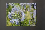 Photo magnet with beautiful hummingbird print, purple flowers, garden photography, Santa Monica, California, home art, fridge art, Los Angles, Southern CA.