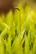 Dicranum polysetum is a species of the genus Dicranum known by the common name Rugose Fork-moss.