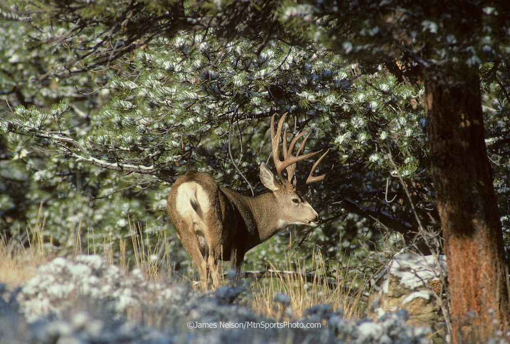 12-1223. A mule deer buck pauses among snow-covered pines in the Rocky Mountains of Colorado.