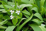 Canada Violet, Viola canadensis, among wild leeks, Allium tricoccum, Emmet County, Michigan