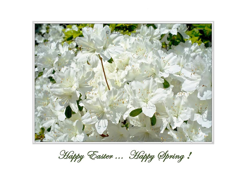 White azaleas flourishing.