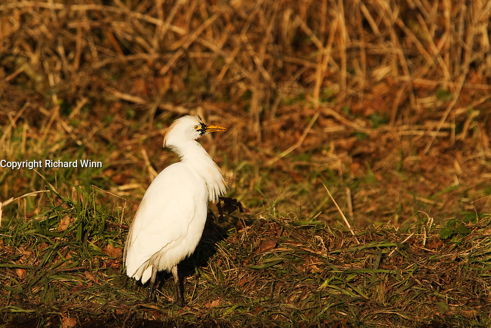 Cattle egret next to the south drain on Shapwick Heath in Somerset.