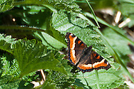 Milbert's tortoiseshell(Nymphalis milberti)at Page Springs Campground, Malheur National Wildlife Refuge