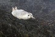 Harbor Seal near Machias Seal Island, Gulf of Maine