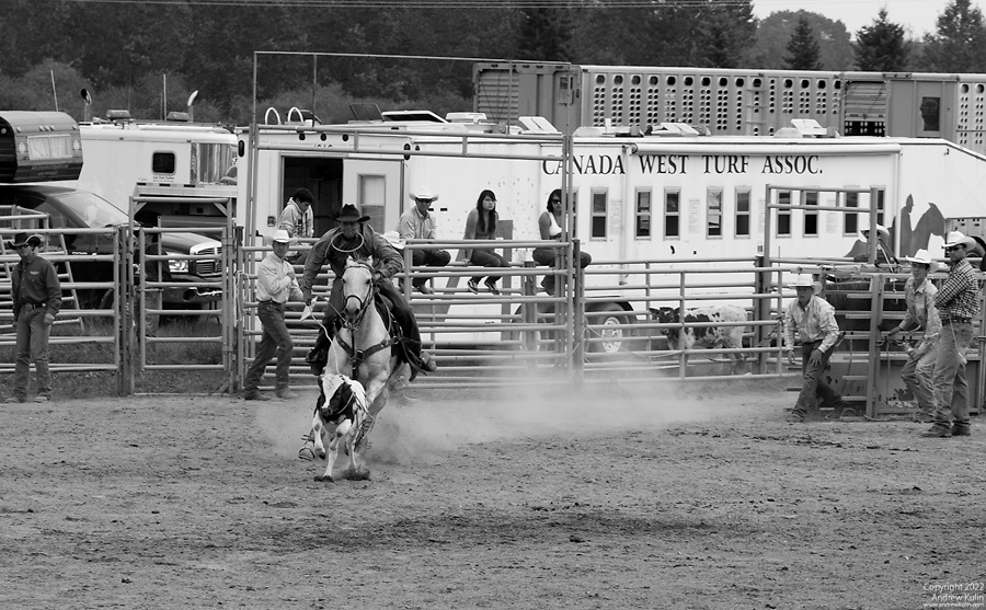 Cowboy roping a calf at the Millarville Rodeo 2010