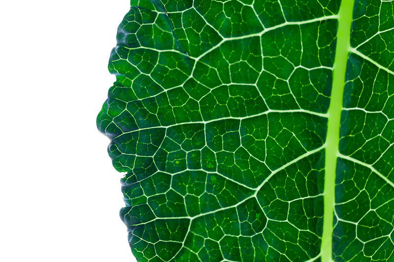 One of a series of modern art food images. Set against a white background enhances the intricate veins on this Lacinato kale leaf