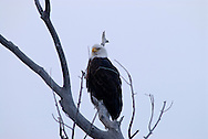 Bald Eagle (Haliaeetus leucocephalus) Yellowstone River, south of Livingston, Montana