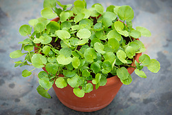 Watercress in a terracotta pot - Nasturtium officinale