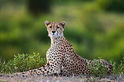A portrait of a cheetah  (Acinonyx jubatus) at attention while resting,  Ndutu, Ngorongoro Conservation Area, Tanzania, Africa