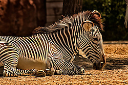 This shot was taken at the Saint Louis Zoo. Zebras are several species of African equids (horse family) united by their distinctive black and white stripes. Their stripes come in different patterns unique to each individual. They are generally social animals that live in small harems to large herds.