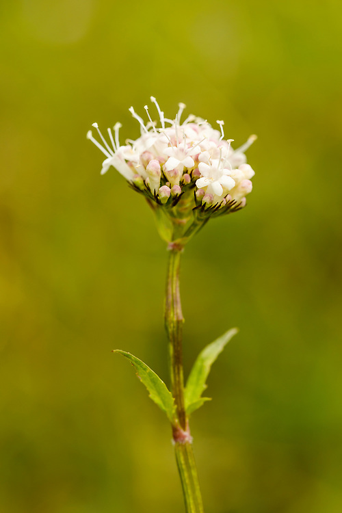 Closeup of Sitka Valerian (Valeriana sitchensis) Hatcher Pass in Southcentral Alaska. Summer. Afternoon.