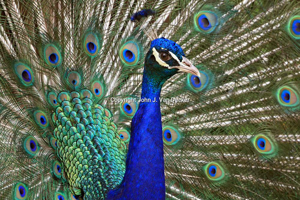 Indian Peacock Displaying