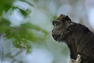crab-eating macaque, Macaca fascicularis, macaque crabier
