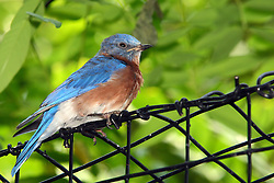 06 July 2008: An Eastern Bluebird sits on some black wire fencing. (Photo by Alan Look)