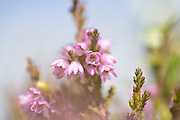 Røsslyng, Calluna vulgaris, commonly called Scotch heather, heather or ling, is a small, variably-sized, evergreen shrub that is native primarily to moors, dunes, bogs. Calluna vulgaris is the sole species in the genus Calluna in the family Ericaceae.