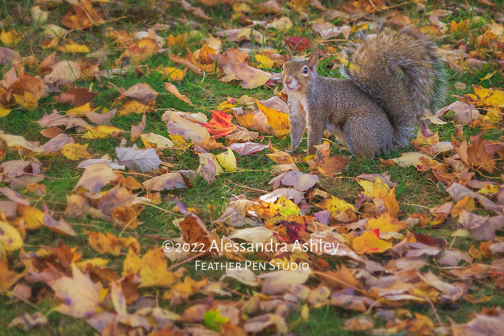 Gray squirrel poses for autumn portrait amid fallen maple leaves.