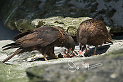 Two Striated caracaras eat the remains of a dead Rockhopper penguin.