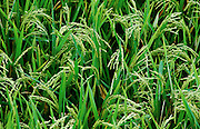 Rice terraces near Apuan. Morning dew.