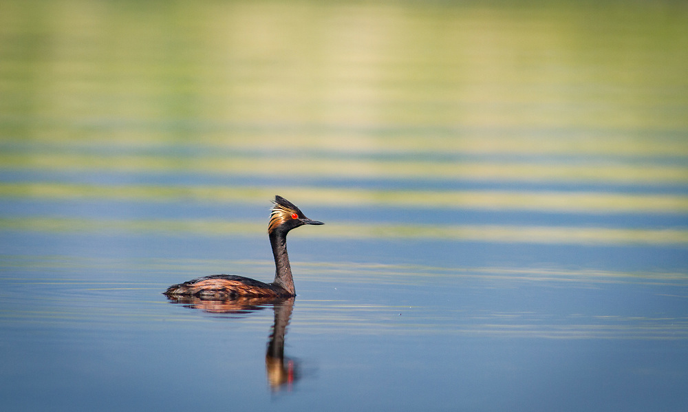 An male eared grebe in mating plumage swims in Grape Creek near the head of Lake DeWeese.