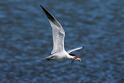 Common Tern (Sterna hirundo) with fish while flying, Coyote Point Recreation Area, San Mateo, California, United States of America