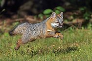 Gray Fox pup running in Habitat