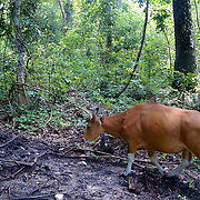 An endangered female wild Banteng in Huai Kha Kaeng Wildlife Sancturary in Thailand.