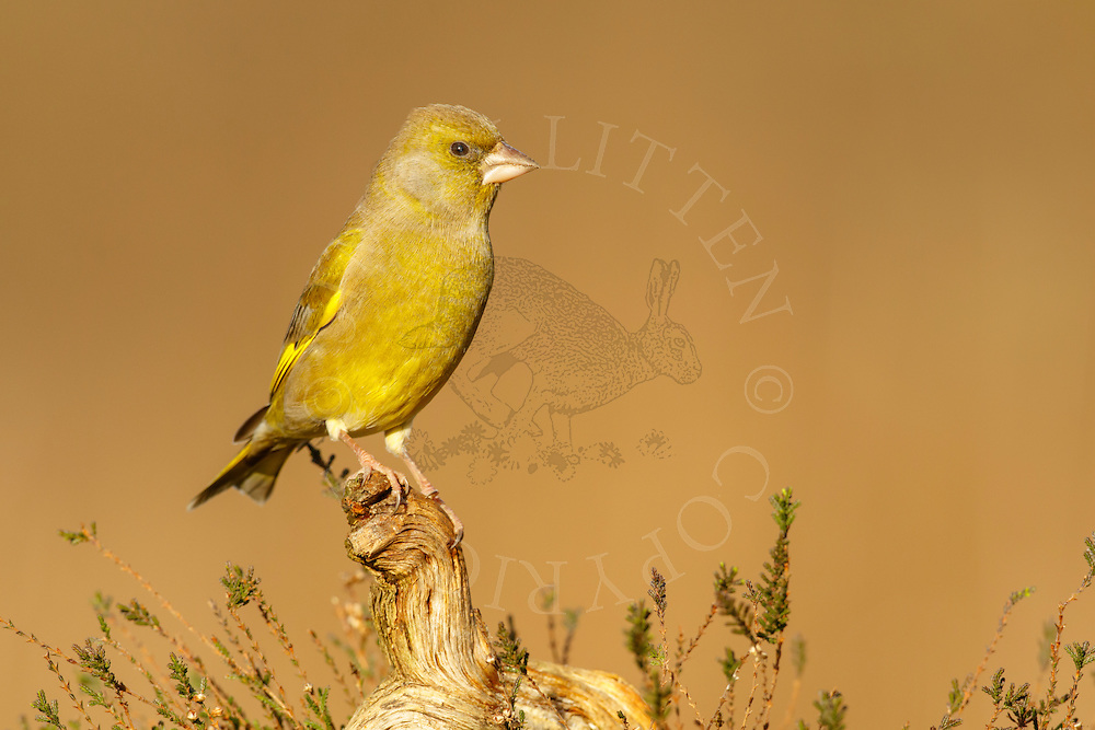 Greenfinch (Carduelis chloris) adult male perched on fallen branch on heathland, Norfolk, UK.